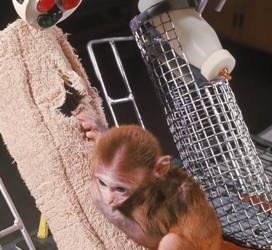 哈洛-铁丝母猴VS绒布母猴——谁让小猴更依恋