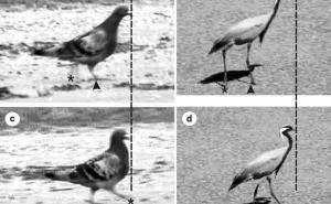 鸟类行走的点头问题