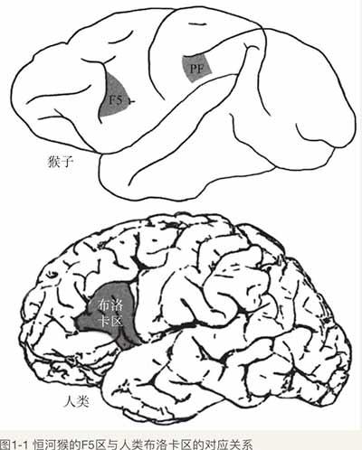 镜像神经元:猴子大脑中的意外收获图片