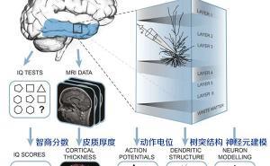 更大的脑细胞工作更好