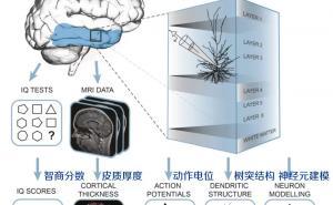 智商与神经元的大小有关